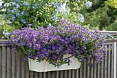 Fächerblume Surdiva 'Violet Blue' am Balkongeländer