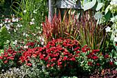 Herbstchrysantheme Dreamstar 'Zelos', Japanisches Rotgras 'Red Baron' und Prachtkerze