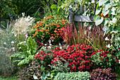 Herbstchrysantheme Dreamstar 'Zelos', Sonnenbraut, Japanisches Rotgras 'Red Baron', Mangold, Prunkwinde 'Milky Way', Prachtkerze und Haargras