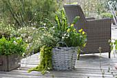 Korb bepflanzt mit Kapkörbchen Summersmile 'Yellow', Prachtkerze 'Karalee White', Pfennigkraut und Mangold