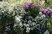 Beet mit Glattblattaster 'Weißes Wunder' 'Rosa Perle' und 'Rosenquarz'