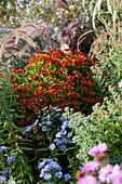 Sonnenbraut 'Moerheim Beauty', Herbstaster und rotes Federborstengras