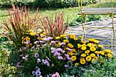 Terrassenbeet mit Strohblumen Granvia 'Gold', Kapkörbchen Summersmile 'Light Pink' und japanisches Rotgras 'Red Baron'