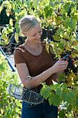 Frau erntet Weintrauben