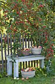 Körbe mit frisch gepflückten Äpfeln, Bank am Gartenzaun