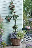 Apfelbaum 'Topaz' mit Herbstaster 'Aqua Compact' und Zweizahn Bee 'White' im Korb