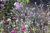 Spinnennetz im Morgentau an verblühten Stielen von Skabiose