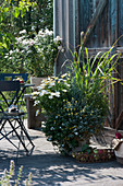Herbstliche Terrasse mit Kapkörbchen Summersmile  'Cream', Zitronengras, Goldköpfchen 'Desert Gold', Schneeflockenblume und Herbstchrysantheme