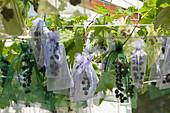 Durchsichtige Gazebeutel schützen Weintrauben vor Wespen und Vögeln