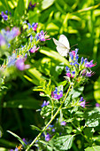 Cabbage white butterfly on blue flowers of viper's bugloss