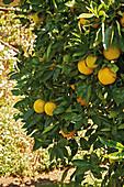 An orange tree in Santa Barbara