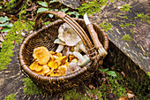 A basket of freshly picked mushrooms