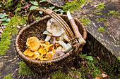 Korb mit frisch gesammelten Pilzen