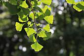 Zweig vom Fächerblattbaum