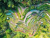 Tegalalang-Reisterrassen, Ubud, Bali, Indonesien