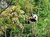 Pandabär am Baum