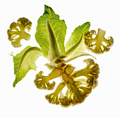 Back-lit sliced cauliflower with leaves