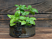 Basil in pot on an old garden counter