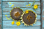 Ripe sunflowers on a blue rustic countertop