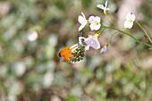 Aurorafalter an Blüte vom Wiesenschaumkraut