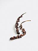 A vine of black peppercorns