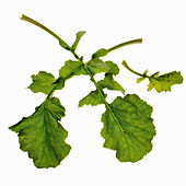 Turnip leaves
