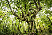 A gnarly beech tree in Kottenforst forest near Bonn, North Rhine Westphalia, Germany