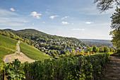 Vineyards near Bad Godesberg, North Rhine-Westphalia, Germany