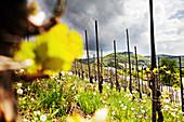 Weinlandschaft, Weingut Dr. Loosen, Rheinland-Pfalz, Deutschland