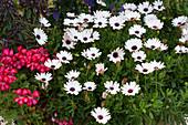 Kapkörbchen Summersmile 'Rosy White' und Hängegeranie