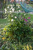 Herbstanemonen 'Honorine Jobert' und 'Rosenschale' mit Duftnessel