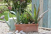 Echte Aloe in Terracotta-Kasten