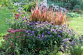 Herbstaster 'Azurit', Japanisches Rotgras 'Red Baron', Fetthenne 'Herbstfreude' und Patagonisches Eisenkraut 'Lollipop' im Beet