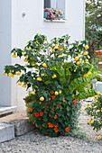 Kübel mit Schönmalve, Kapuzinerkresse und Mangold am Hauseingang