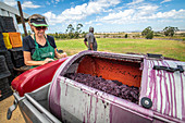 Processing grapes at winery
