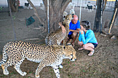 Captive cheetahs and handler