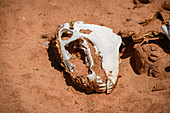 Zebra skull