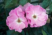 Hybrid rose (Rosa sp.) flowers