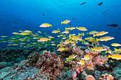 School of blue stripe snapper rest over coral reef