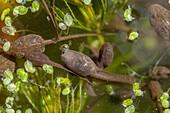 Common frog tadpoles