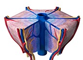 Liver lobule, illustration