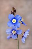 Heliophila coronopifolia - Showy Sunflax