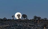 Moon and quiver trees at dawn