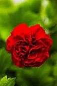 Carnation (Dianthus 'Cortes') flower