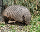 Big hairy armadillo foraging for food