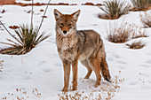 Coyote in snow, Canyonlands National Park, Utah, USA