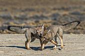 South American fox kits playfighting