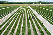 Pick-your-own strawberry farm