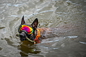 Dog wearing goggles swimming