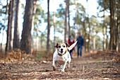 Happy, carefree dog running in autumn woods